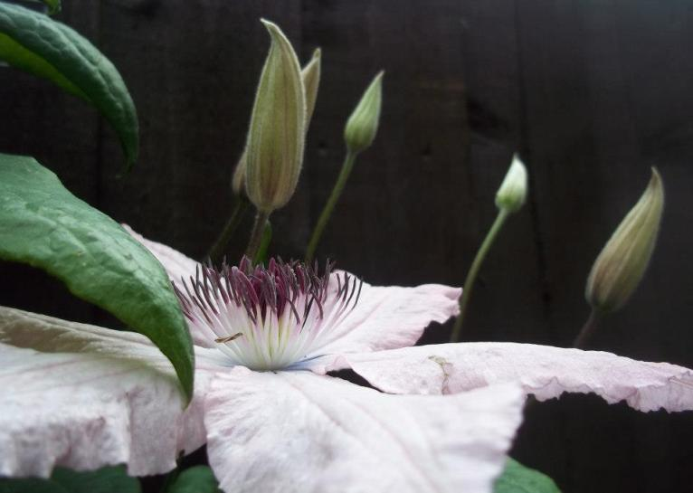 clematis2-pwm