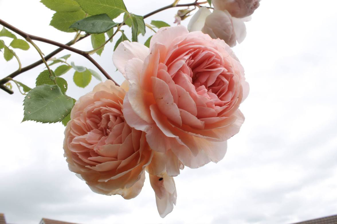 pwm-rose
