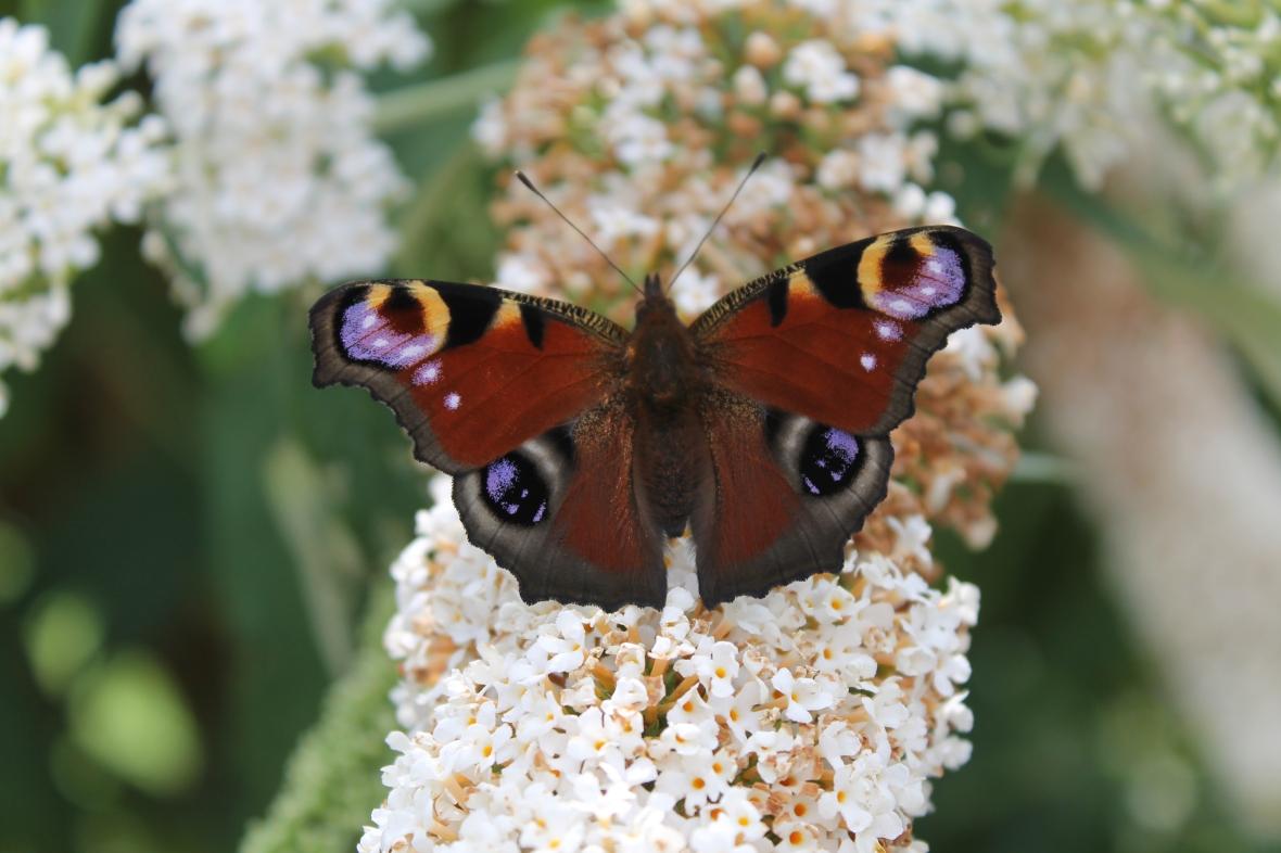 butterfly_cheniesplantfair